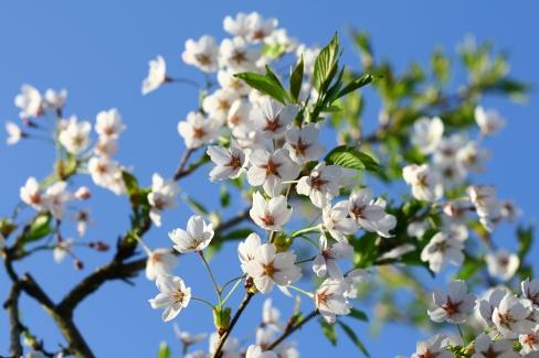 Havens hvide kirsebærtræ